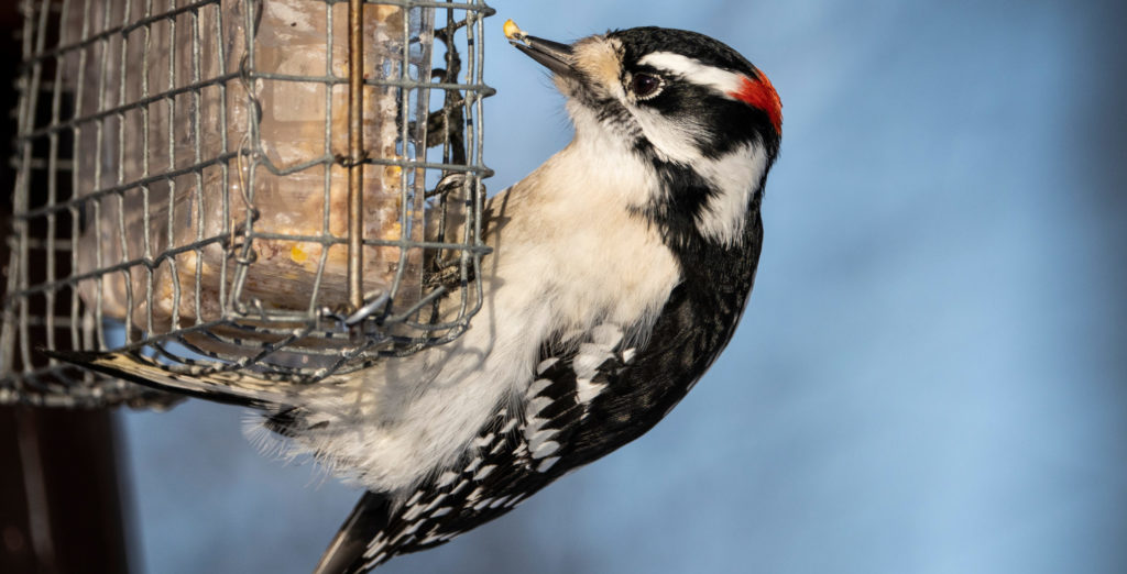 how to attract woodpeckers