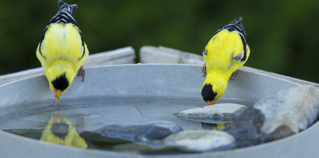 attracting goldfinches with a bird bath
