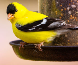 4 Simple Ways To Attract Goldfinches! (2021)