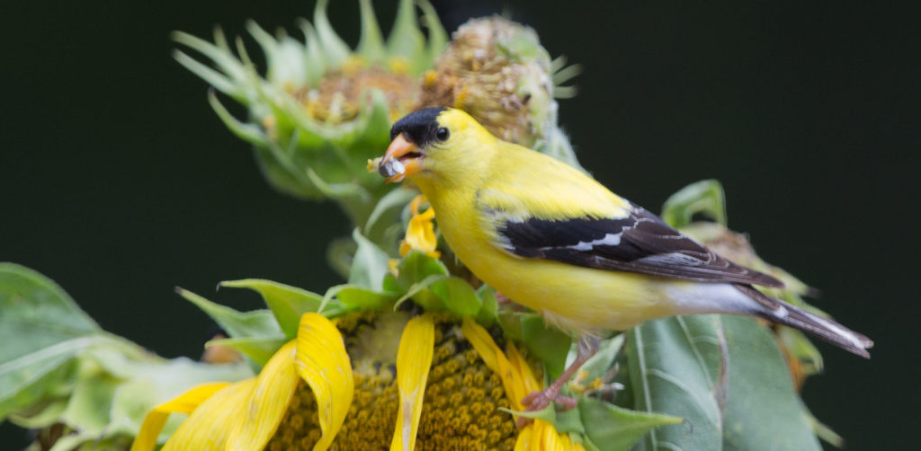 using native plants to attract goldfinches