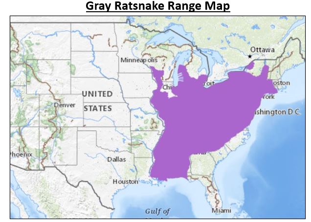 gray rat snake range map