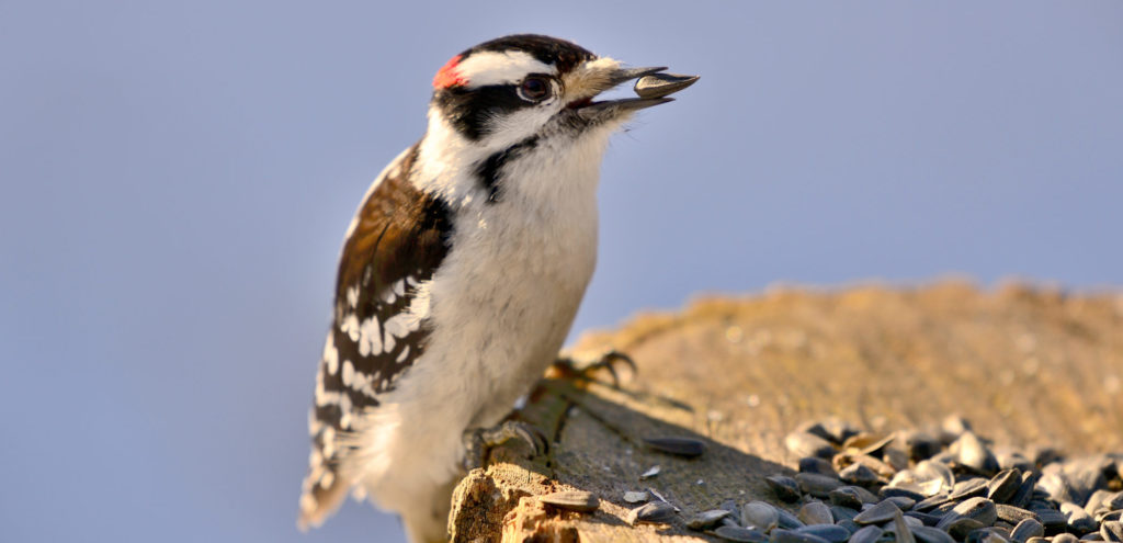 attracting woodpeckers with sunflower seeds