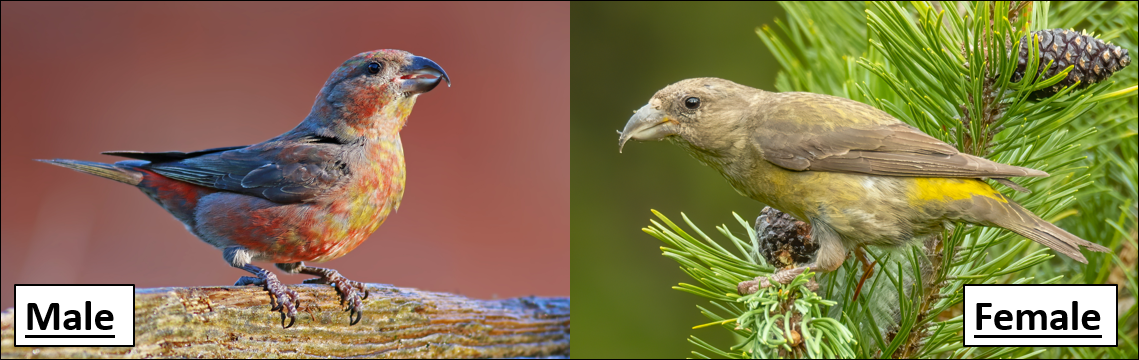 red crossbill pic
