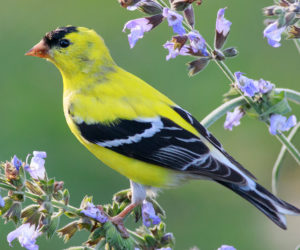 The 3 Types of Goldfinches in the United States! (ID Guide)