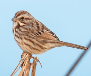 39 Types of Sparrows Found In The United States! (ID Guide)