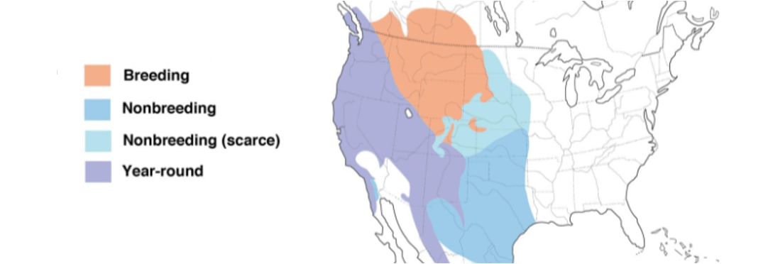 spotted towhee range map