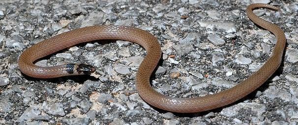Southeastern Crown Snake