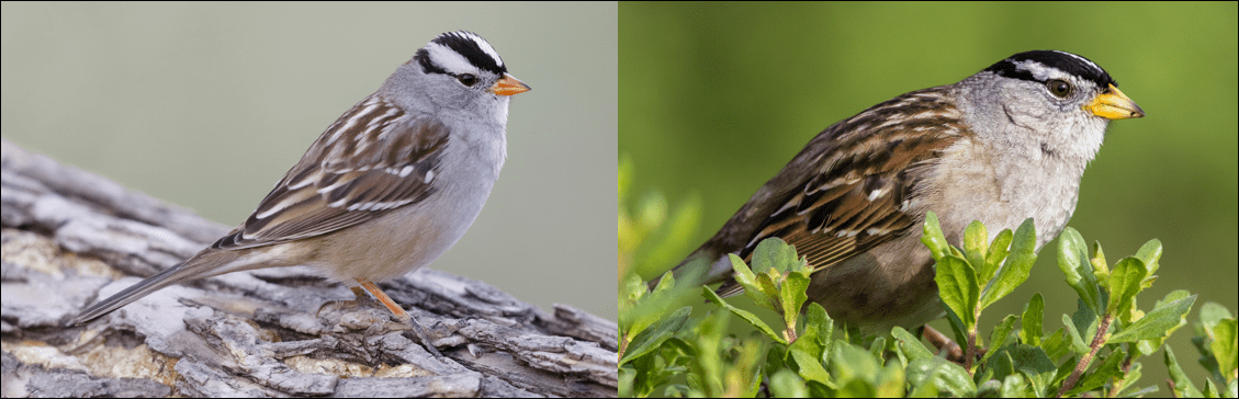White-crowned Sparrow pic