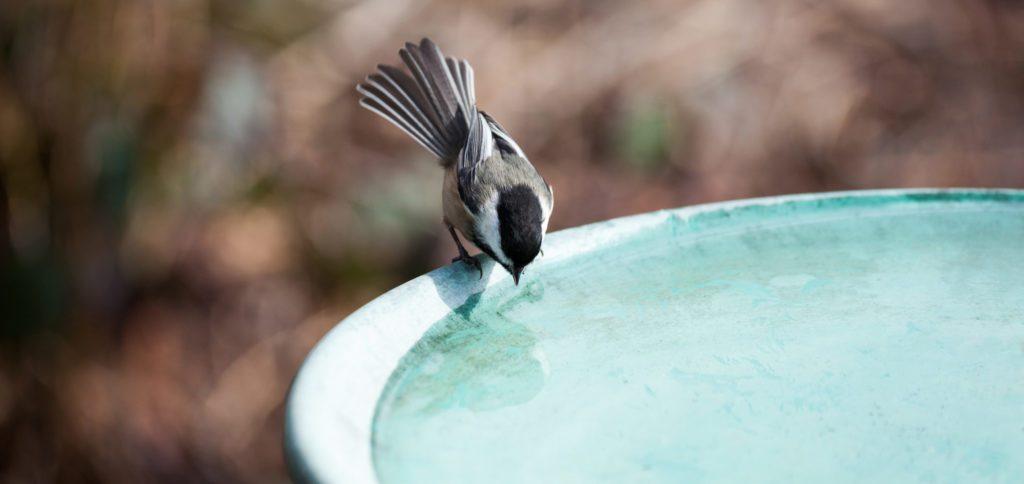 chickadee in bird bath