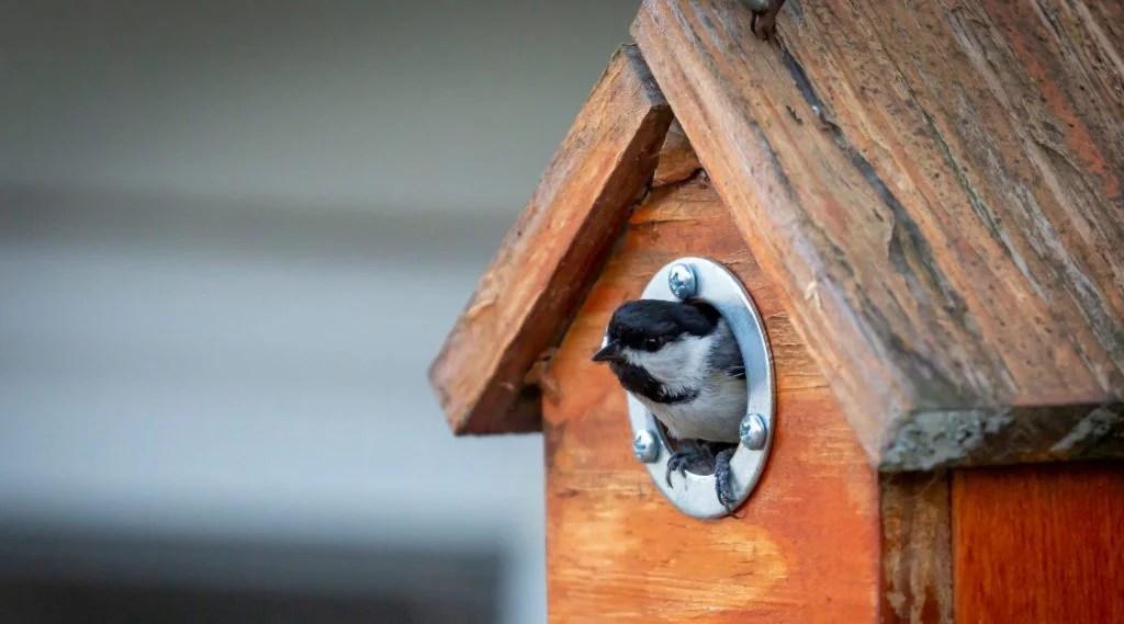 chickadee inside nest box