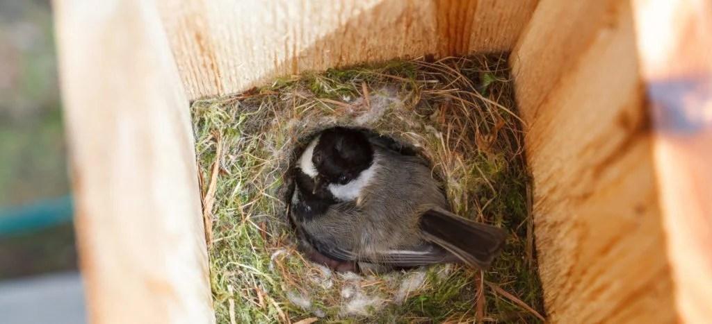 chickadee inside bird house