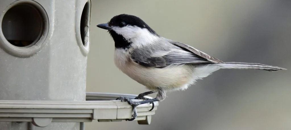 attracting chickadees with bird feeders