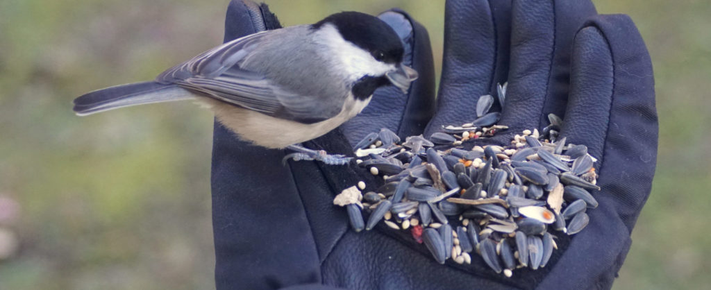 attracting chickadees with sunflower seeds