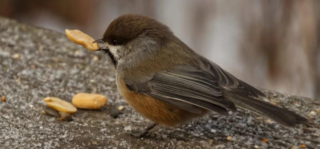 boreal chickadee eating peanuts