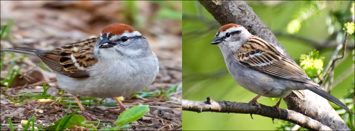 chipping sparrow pic