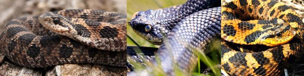 eastern hog nosed snake