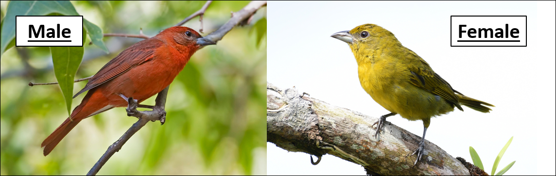 hepatic tanager pic