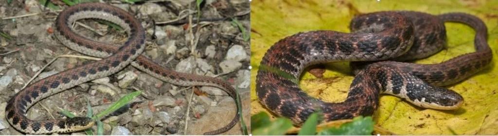 kirtlands snake