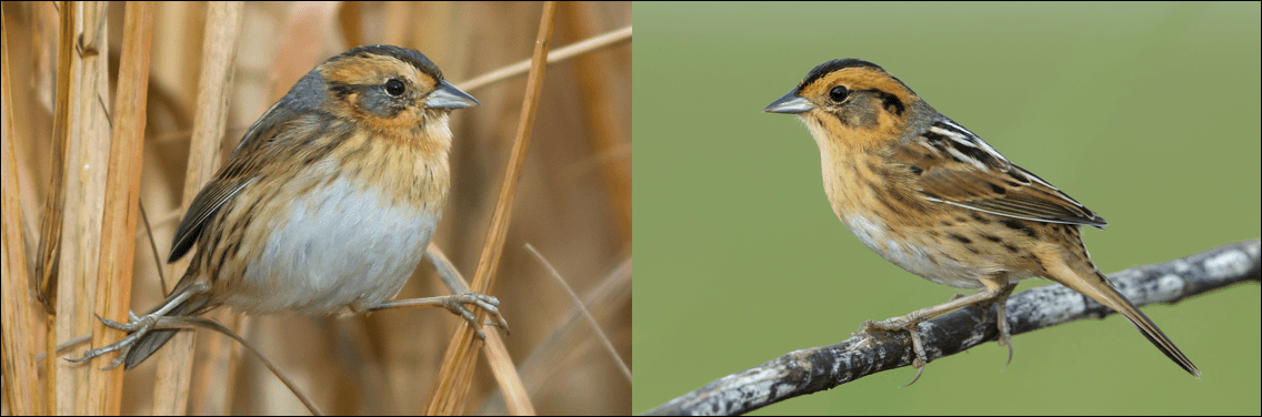 nelson's sparrow pic