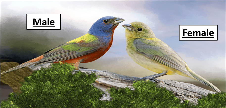 painted bunting pic