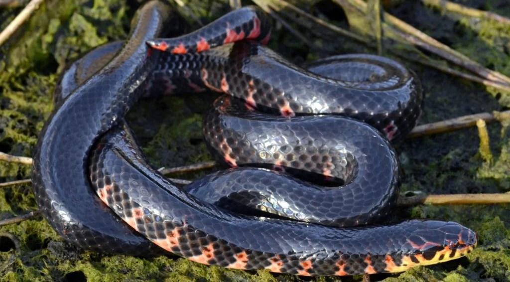 red bellied mud snake