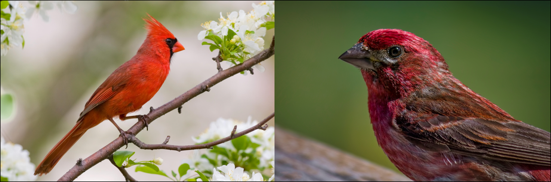 red birds in the united states