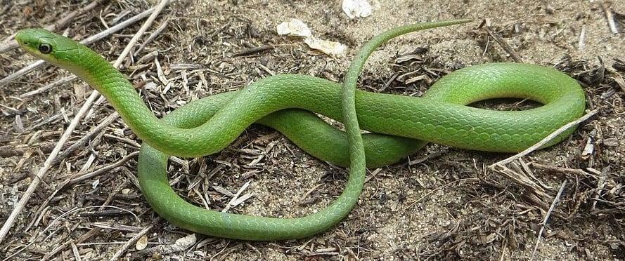 smooth green snake