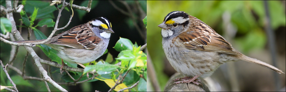 white throated sparrow pic