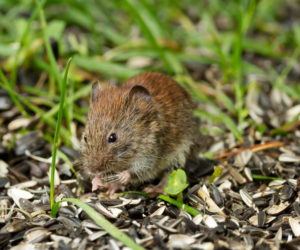 9 Ways To Keep Mice (and Rats) AWAY from Bird Feeders!