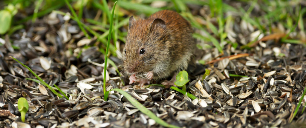 keeping mice and rats away from bird feeders