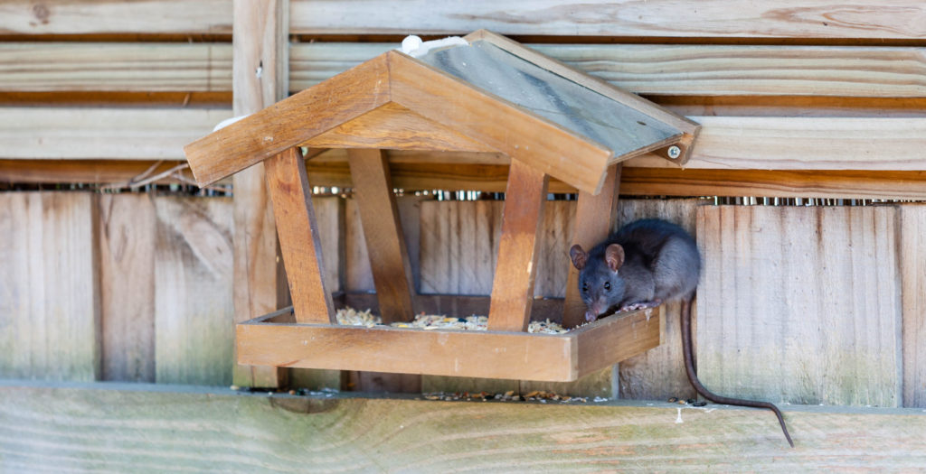 rat eating on platform feeder