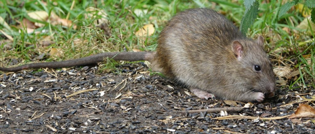 keeping rats away by cleaing up bird seed and food