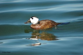 16 White-headed Duck - Birding Murcia