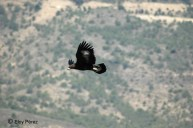22 Golden Eagle - Birding Murcia