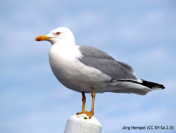 36 Yellow-legged Gull - Birding Murcia