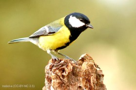 67 Great Tit - Birding Murcia
