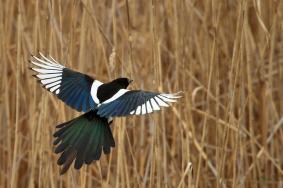 06 Birdingmurcia - Chris Vlachos - Pica pica