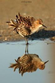 22 Birdingmurcia - Chris Vlachos - Calidris minuta