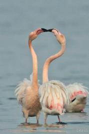 23 Birdingmurcia - Chris Vlachos - Kissing Flamingos