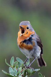 24 Birdingmurcia - Chris Vlachos - Erithacus rubecula