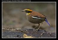 04 BIRDERS ZhongYingKoay - Female Banded Pitta
