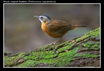 05 BIRDERS ZhongYingKoay - Black-capped Babbler