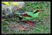 06 BIRDERS ZhongYingKoay - Common Green Magpie