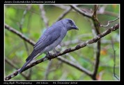 08 BIRDERS ZhongYingKoay - Javan Cuckooshrike