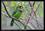 09 BIRDERS ZhongYingKoay - Fire-tufted Barbet