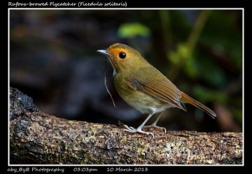13 BIRDERS ZhongYingKoay - Rufous-browed Flycatcher