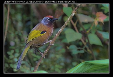 18 BIRDERS ZhongYingKoay - Chestnut-crowned Laughingthrush