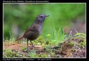 22 BIRDERS ZhongYingKoay - Streaked Wren-babbler