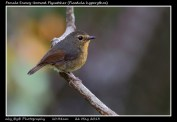 24 BIRDERS ZhongYingKoay - Female Snowy-browed Flycatcher