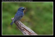 25 BIRDERS ZhongYingKoay - Male Snowy-browed Flycatcher